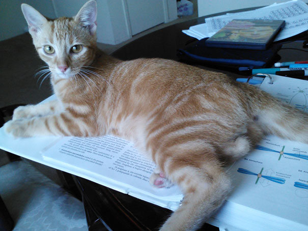 cats_who_wont_let_you_read_27