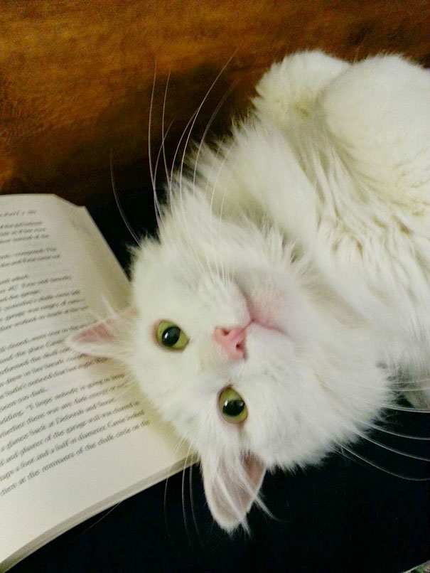 cats_who_wont_let_you_read_5