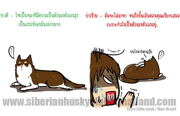 นิสัยเจ้าหมา พันธุ์ไซบีเรียน (14)