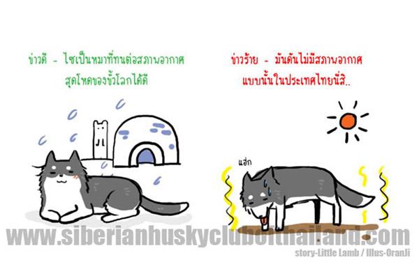 นิสัยเจ้าหมา พันธุ์ไซบีเรียน (8)