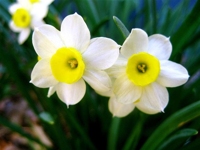อันดับ 10 Narcissus