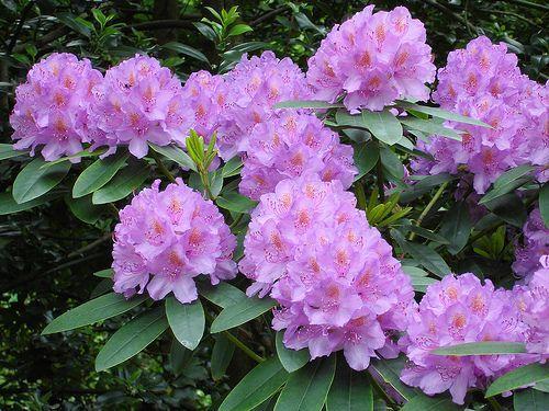 อันดับ 9 Rhododendron