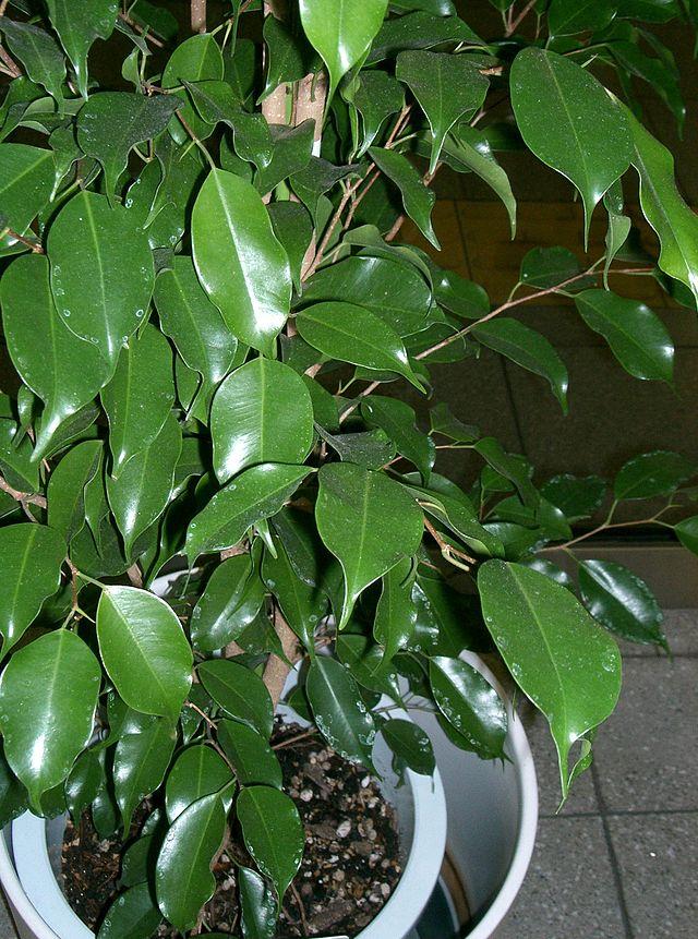 อันดับ 8 Ficus