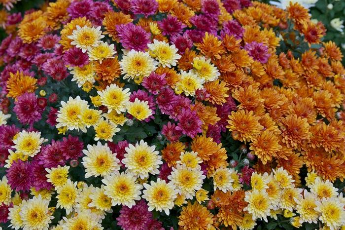 อันดับ 6 Chrysanthemum