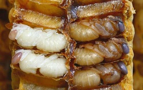 อันดับที่ 6 Hachinoko หรือตัวอ่อนของผึ้ง