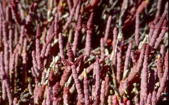 Tecticornia bibenda