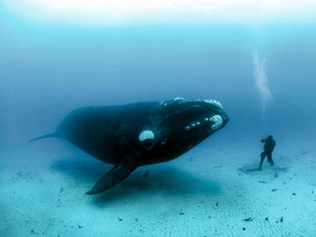 วาฬ Bowhead Whale