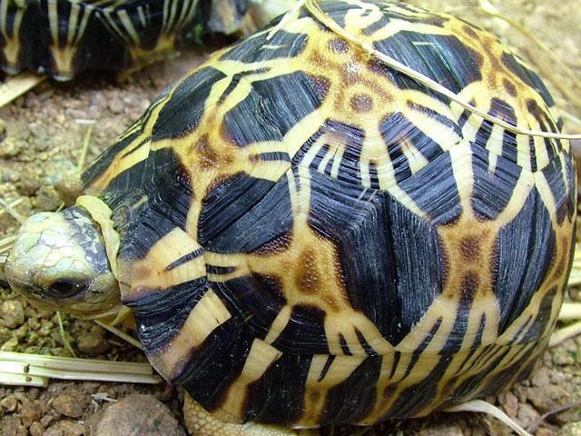 เต่าเรเดียต้า Radiated Tortoise
