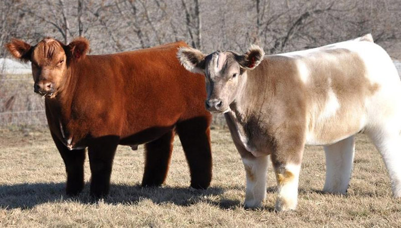 Fluffy Cows วัวขนปุย สัตว์โลกน่ารัก