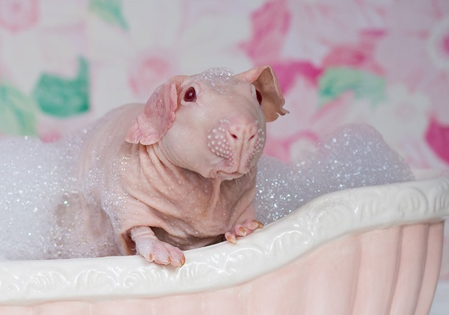 nude-guinea-pig-bath-time-erin-bonilla-8