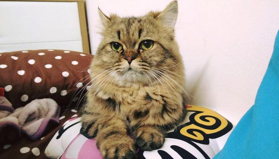 cat วิธีดูแล เปอร์เซีย แมว