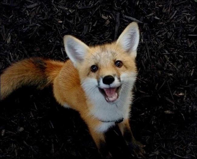 fox red fox จิ้งจอกแดง สุนัขจิ้งจอก