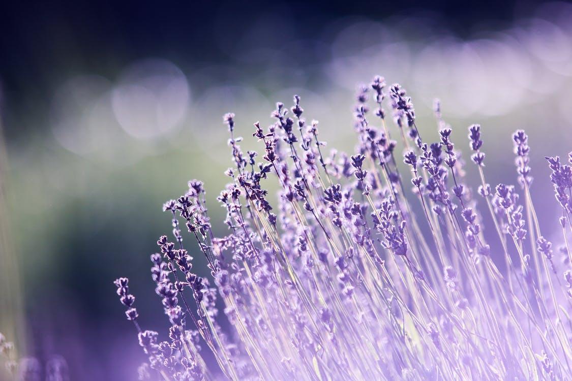 กุหลาบ ดอกไม้ ต้นไม้ ประโยชน์ ลาเวนเดอร์