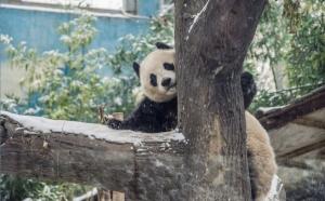 panda-real