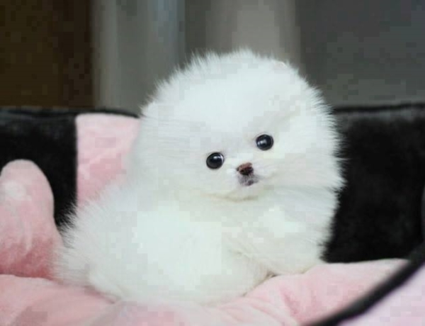 น่ารักพกพาสะดวก! น้องหมาถ้วยกาแฟ (Teacup Pomeranian) สาวๆ ใจละลายแน่นอน (11)