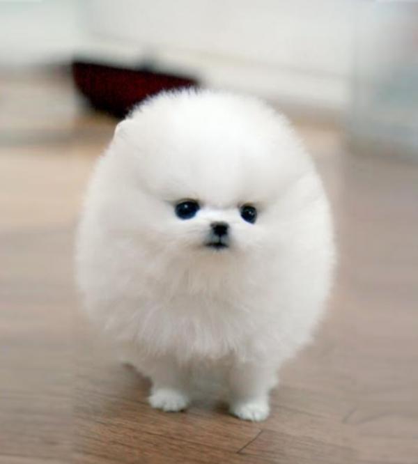 น่ารักพกพาสะดวก! น้องหมาถ้วยกาแฟ (Teacup Pomeranian)