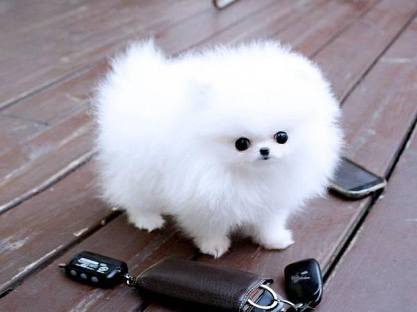 น่ารักพกพาสะดวก! น้องหมาถ้วยกาแฟ (Teacup Pomeranian) สาวๆ ใจละลายแน่นอน (5)