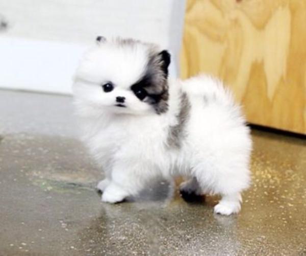 น่ารักพกพาสะดวก! น้องหมาถ้วยกาแฟ (Teacup Pomeranian) สาวๆ ใจละลายแน่นอน (8)