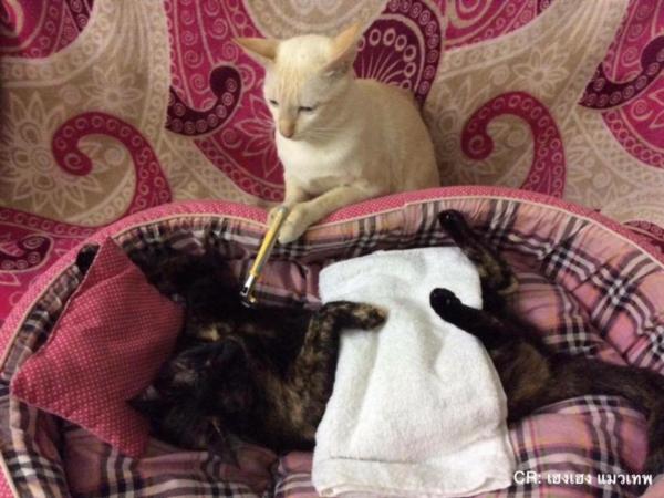 เจอแบบนี้รักตายเลย! เฮงเฮง และซาลาเปา แมวเทพสุดขยันช่วยทำงานบ้าน (4)