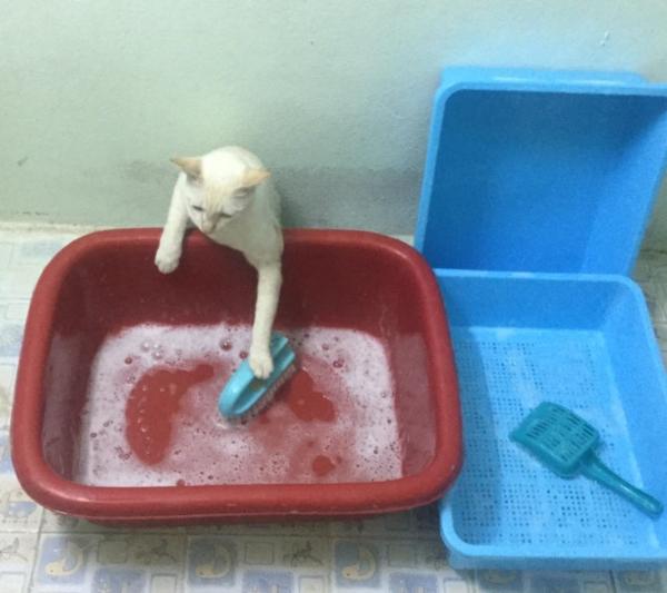 เจอแบบนี้รักตายเลย! เฮงเฮง และซาลาเปา แมวเทพสุดขยันช่วยทำงานบ้าน (6)