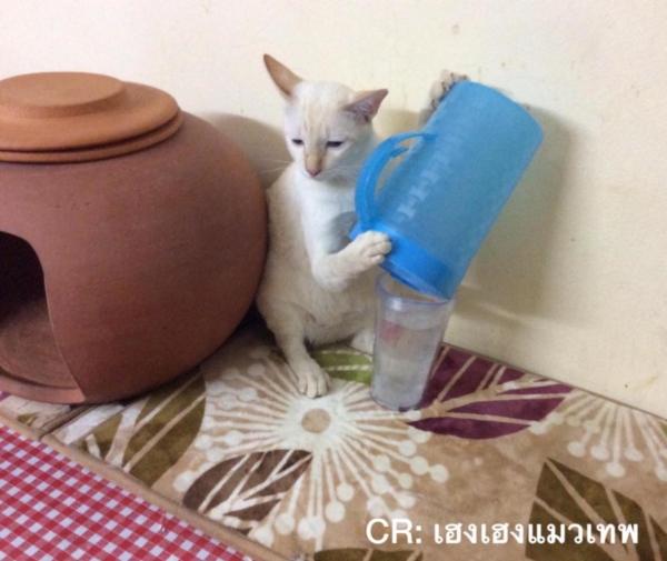 เจอแบบนี้รักตายเลย! เฮงเฮง และซาลาเปา แมวเทพสุดขยันช่วยทำงานบ้าน (7)