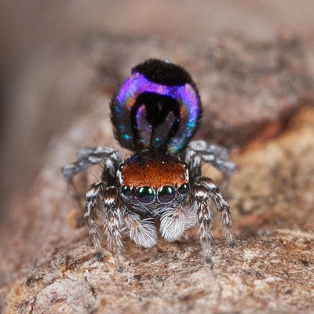 แมงมุมนกยูง (Maratus volans) แมงมุมที่สวยที่สุดในโลก (10)