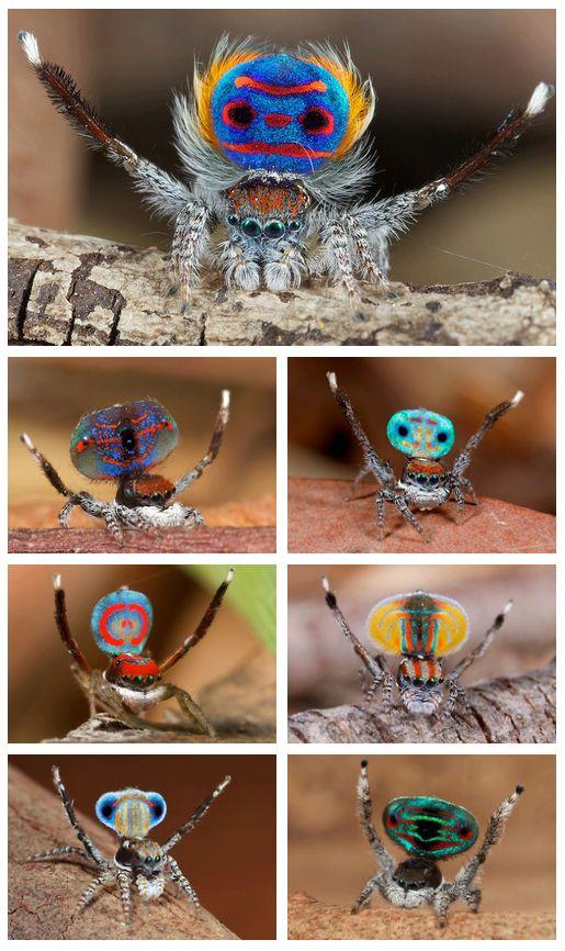 แมงมุมนกยูง (Maratus volans) แมงมุมที่สวยที่สุดในโลก (15)