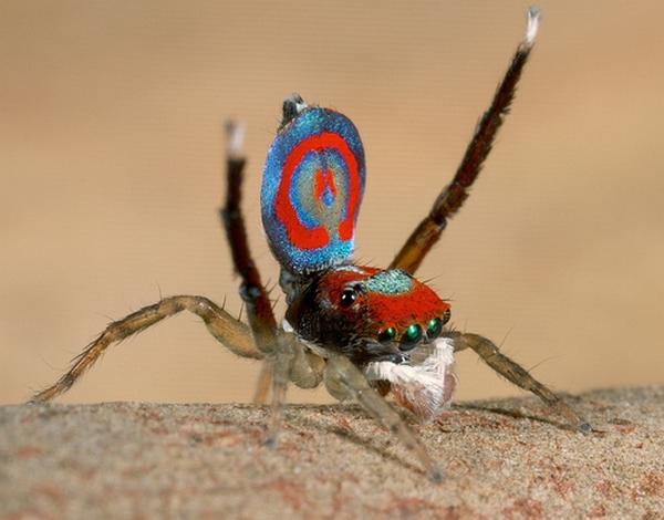 แมงมุมนกยูง (Maratus volans) แมงมุมที่สวยที่สุดในโลก (18)