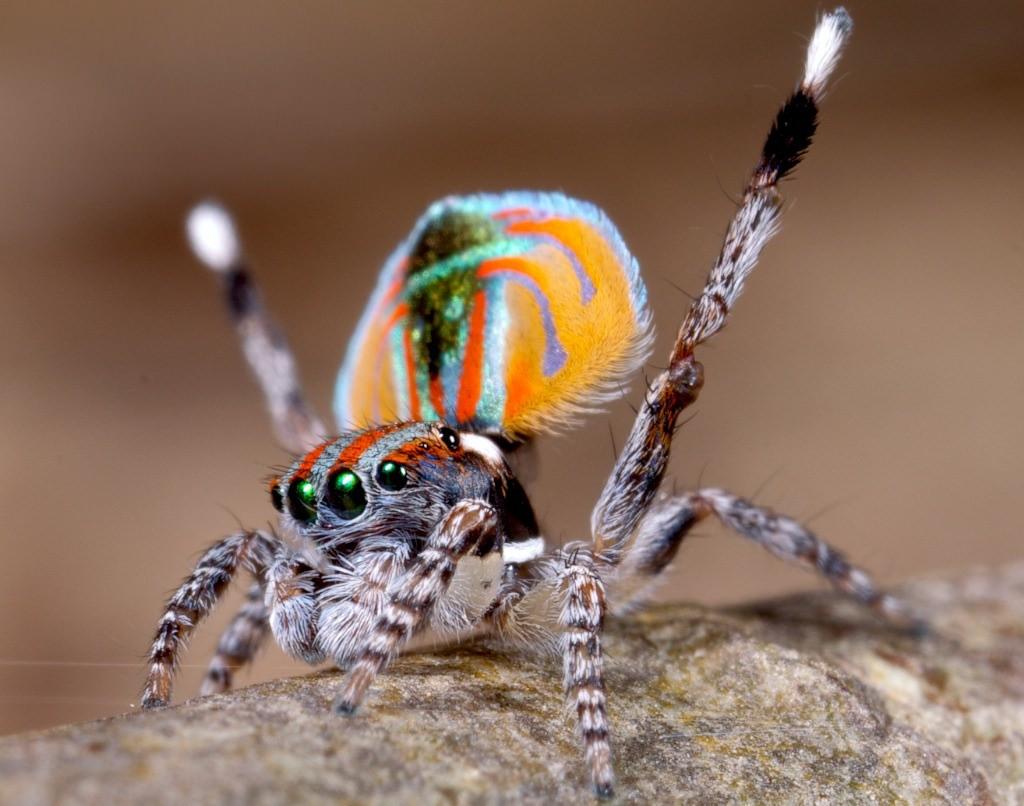 แมงมุมนกยูง (Maratus volans) แมงมุมที่สวยที่สุดในโลก (2)