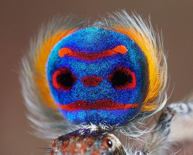 แมงมุมนกยูง (Maratus volans) แมงมุมที่สวยที่สุดในโลก (6)