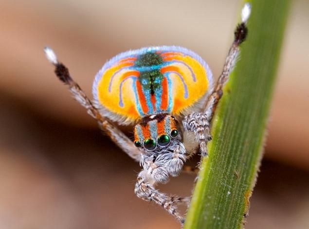 แมงมุมนกยูง (Maratus volans) แมงมุมที่สวยที่สุดในโลก (8)