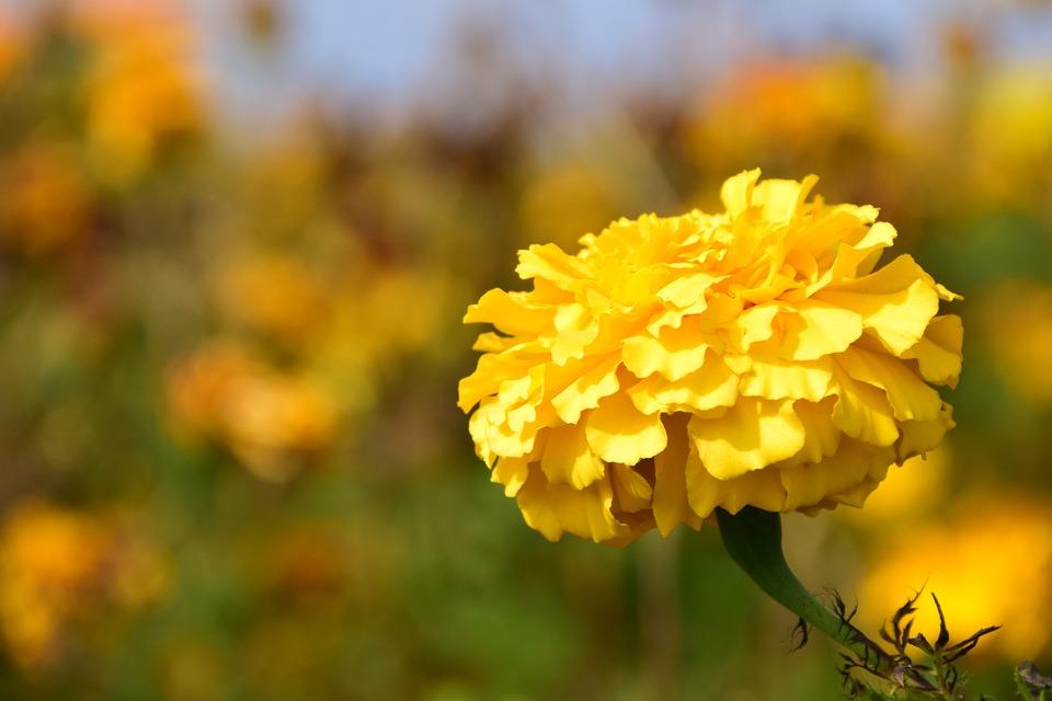 ดอกดาวเรือง = Marigold