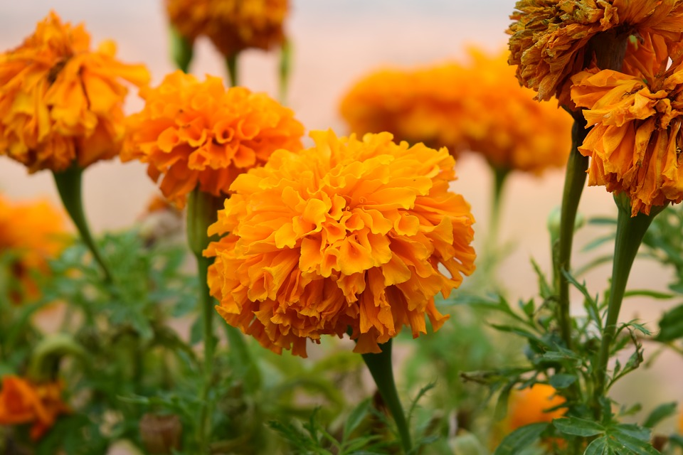 ดอกดาวเรือง ดอกไม้ รัชกาล รัชกาลที่ 9 ในหลวงรัชกาลที่ 9