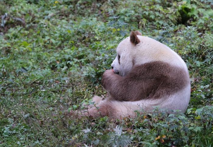 Only Brown Panda (8)