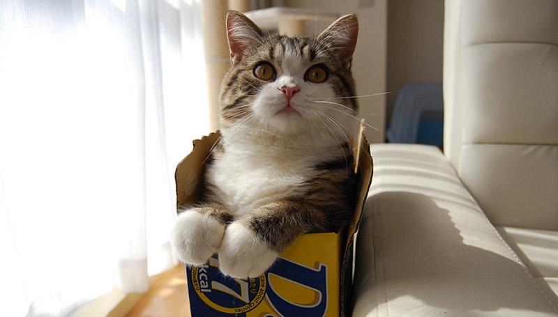 มารุ แมว แมวกล่อง