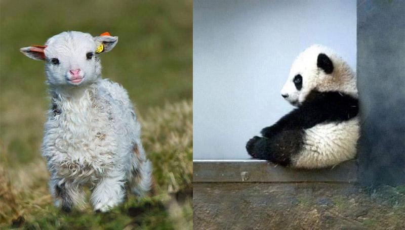 ภาพน่ารัก สัตว์แรกเกิด สัตว์โลกน่ารัก หมีแพนด้า