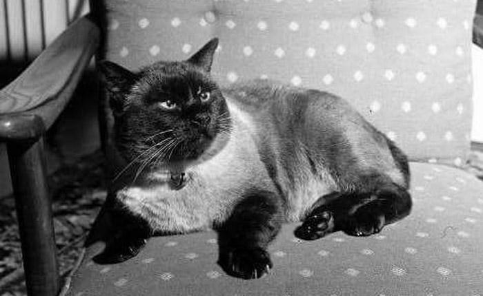 คุณติโต สัตว์ทรงเลี้ยง สัตว์เลี้ยง แมว ในหลวงรัชกาลที่ 9