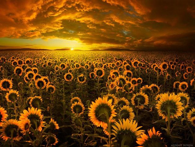 11. ทุ่งดอกทานตะวัน สีเหลืองทอง