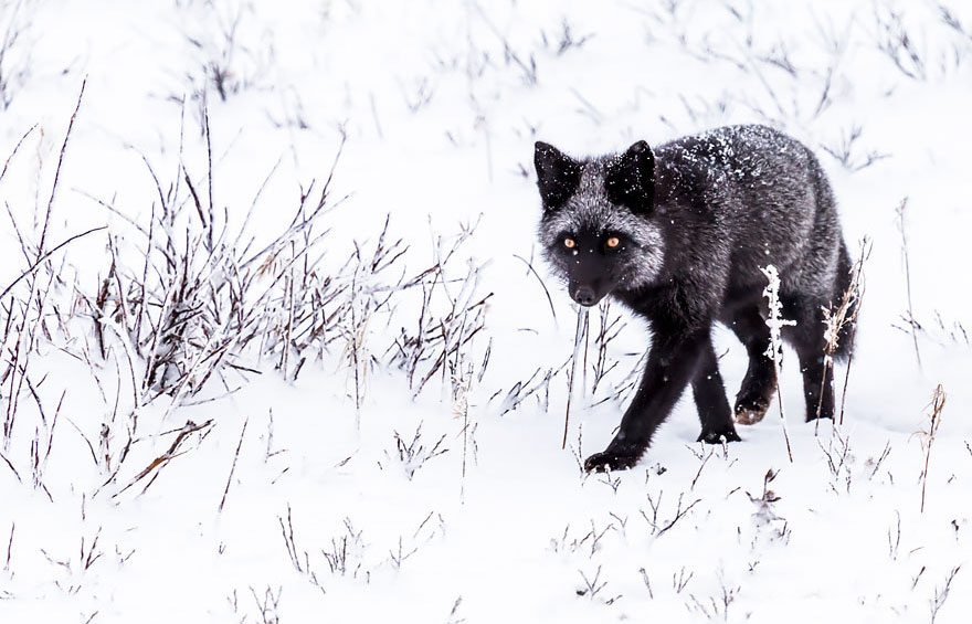 winter-fox (15)