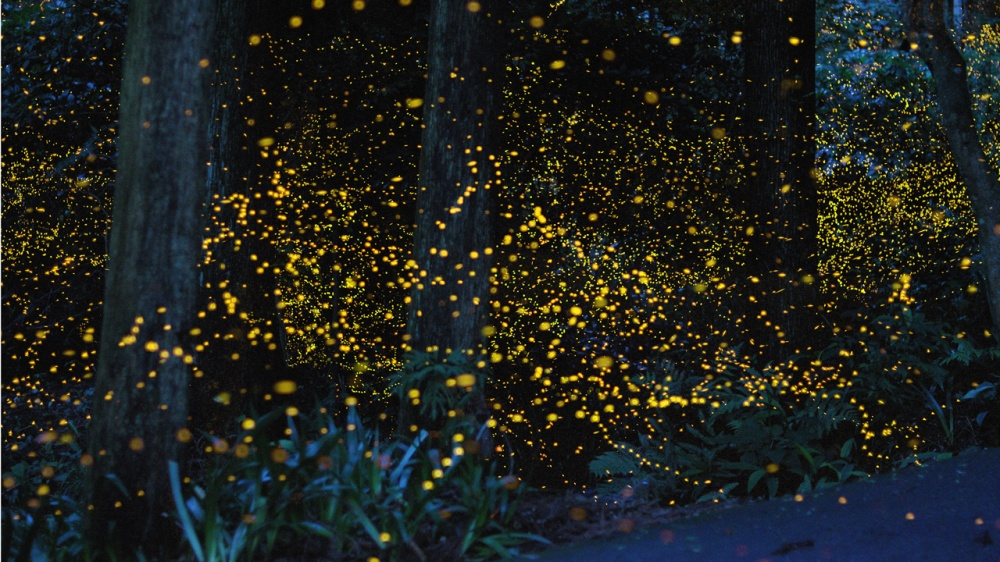 Fireflies in a forest, Japan