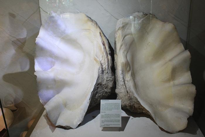 หอยมือเสือยักษ์