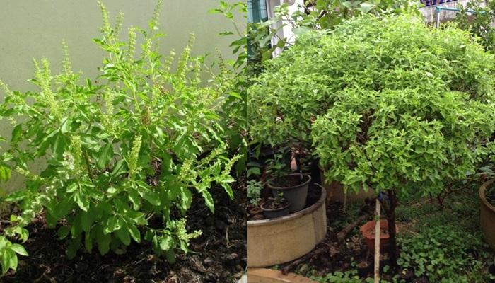 กะเพรา ต้นกะเพรา ผัก พืช สวน