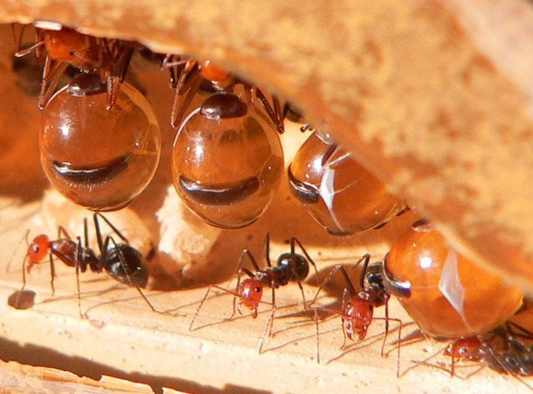 ธรรมชาติ มด มดน้ำผึ้ง