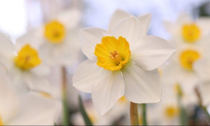 ดอกดารารัตน์ ดอกไม้จันทน์ พระราชพิธีถวายพระเพลิง ร.9 สมเด็จพระนางเจ้าสิริกิติ์ฯ ในหลวงรัชกาลที่ 9