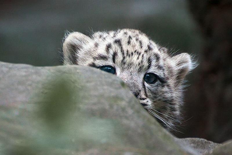 สัตว์โลก เสือดาวหิมะ