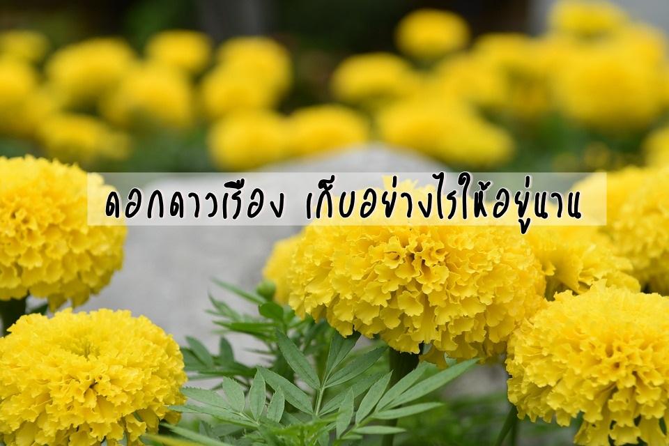 ดอกดาวเรือง ดอกไม้ รัชกาลที่ 9