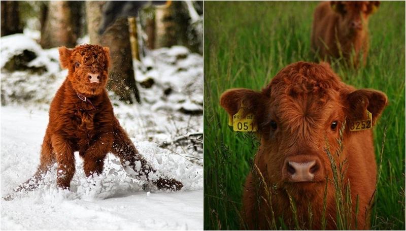 น่ารัก วัว สัตว์โลก
