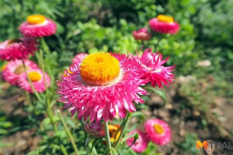 ท่องเที่ยว ทุ่งดอกไม้ ไทยเที่ยวไทย
