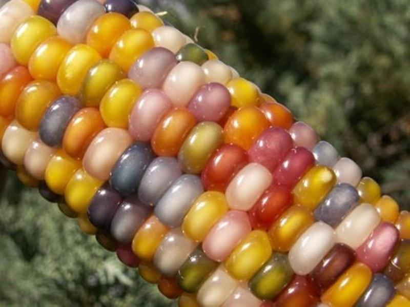 ข้าวโพดอัญมณี Glass Gem Corn