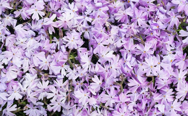 สีม่วงอ่อน =lilac (แบบดอกไลแลค)